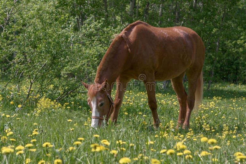 吃草栗子的马 免版税图库摄影