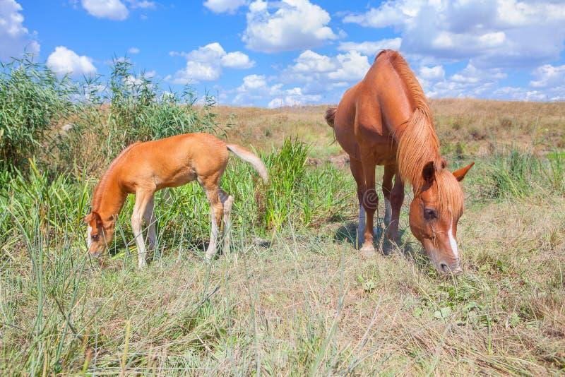 吃草母马的驹 库存照片