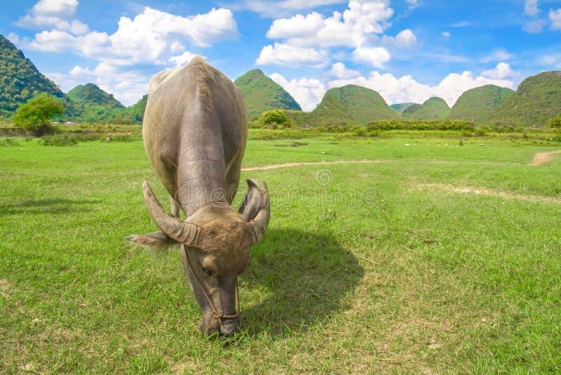 吃草水的水牛 农村旅游业和美好的风景在阳朔,广西,中国 图库摄影