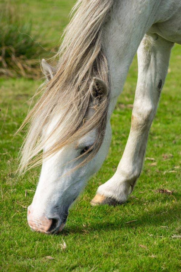 吃草灰色威尔士野生小马 免版税库存图片