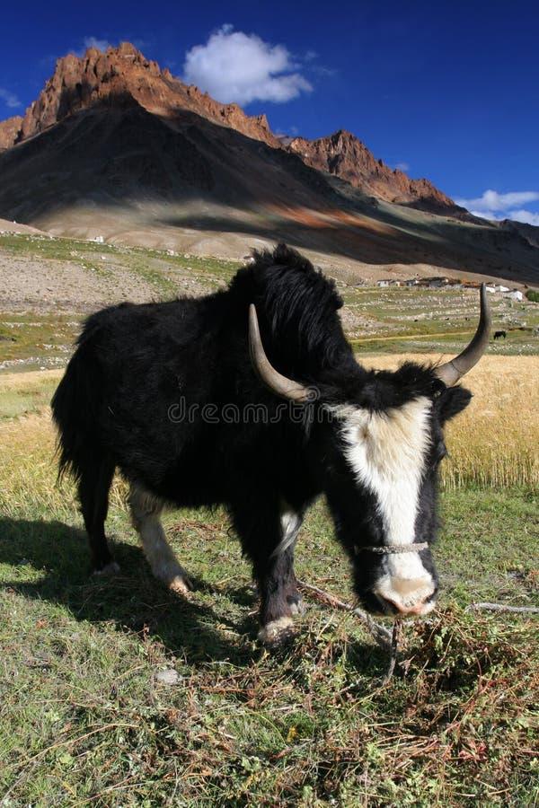 吃草牦牛 库存照片