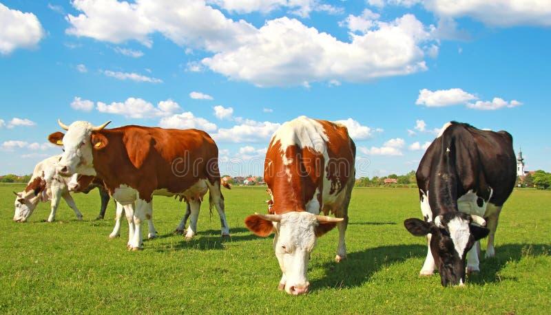 吃草牧场地的母牛 免版税库存照片