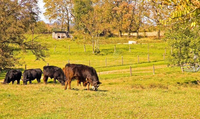 吃草牧场地的母牛 图库摄影