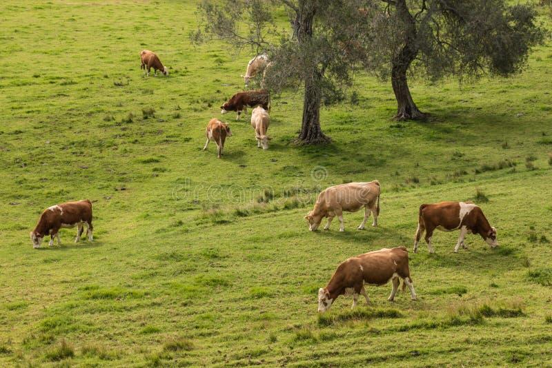 吃草牧群的母牛 免版税图库摄影