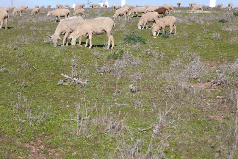 人和绵羊交配_吃草牧群的绵羊