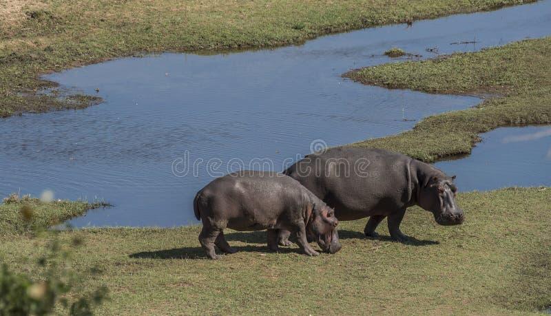 吃草由水,克留格尔国家公园,南Afric的河马 免版税库存照片