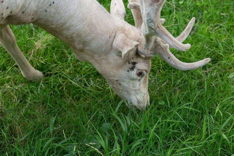 吃草白变种的小鹿 免版税库存图片
