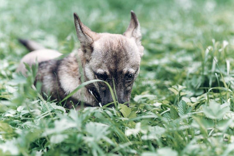 吃草的可爱的小犬座户外,逗人喜爱的灰色小狗porta 图库摄影
