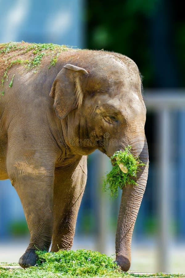 吃草的大大象动物在动物园图片