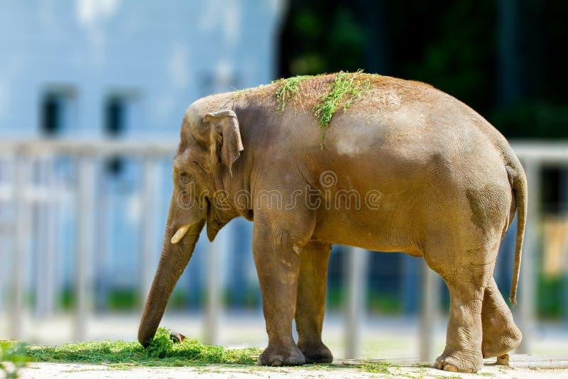 吃草的大大象动物在动物园. 敌意, 重婚.图片