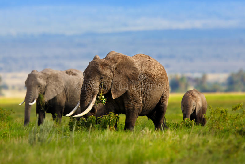 吃草的大象家庭 图库摄影