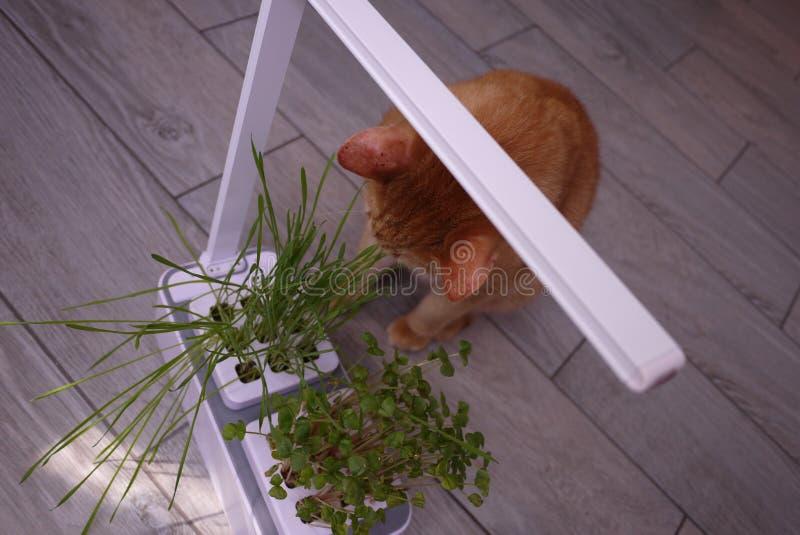 吃草的家猫 草增长特别是为了猫能通过吃它得到必要的维生素 // 免版税库存图片