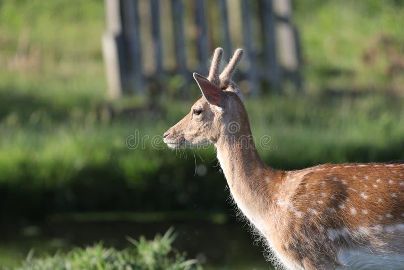 吃草的小鹿在分蘖性公园,伦敦 免版税图库摄影