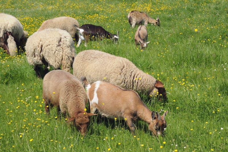 吃草的山羊和绵羊 免版税库存照片
