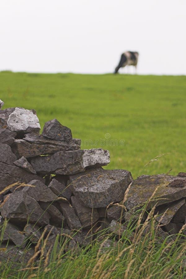 Download 吃草的母牛 库存照片. 图片 包括有 草原, 问题的, 敌意, 弗里斯兰省人, 母牛, 墙壁, 牛奶, 种田 - 188646