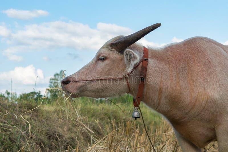 吃草的泰国白变种水牛 库存照片