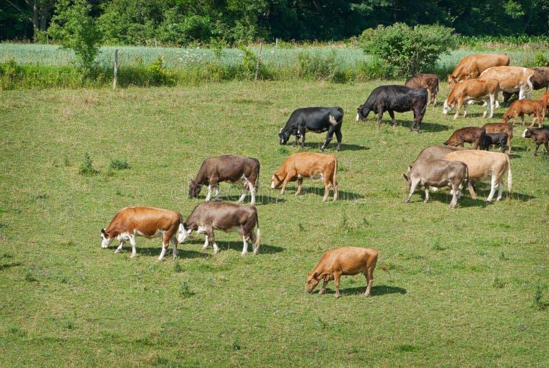 吃草的牛 免版税图库摄影