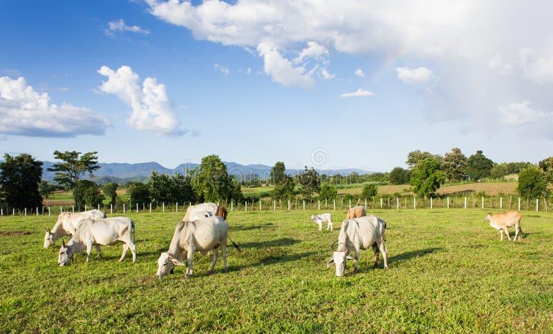 吃草的牧群母牛 免版税库存图片