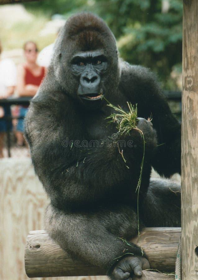 吃草的疯狂的大猩猩 免版税库存照片