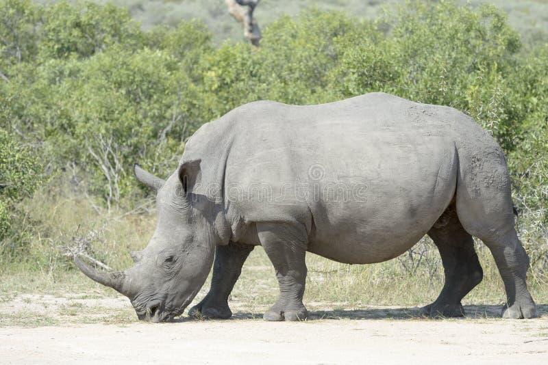 吃草的白犀牛, sideview 免版税图库摄影