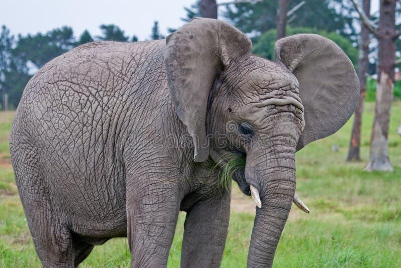 吃草的非洲大象 图库摄影