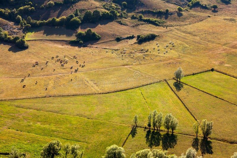 吃草的马和的母牛牧群  免版税库存图片