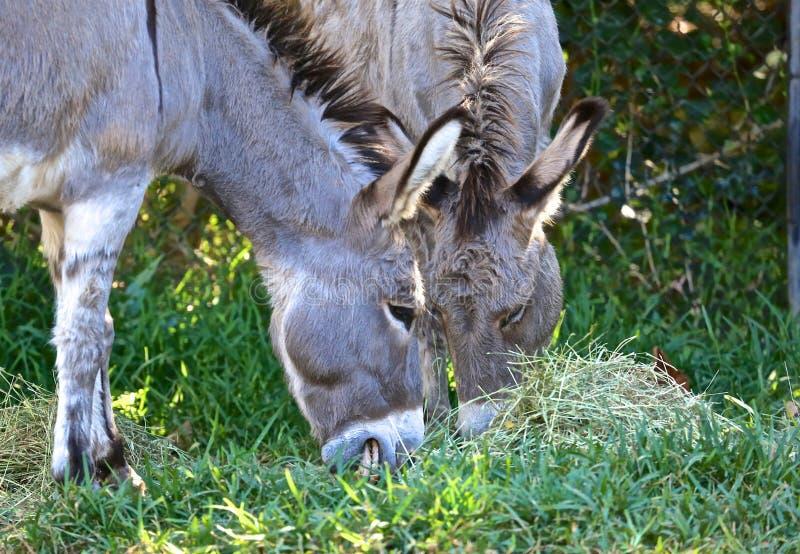 吃草的驴 库存照片