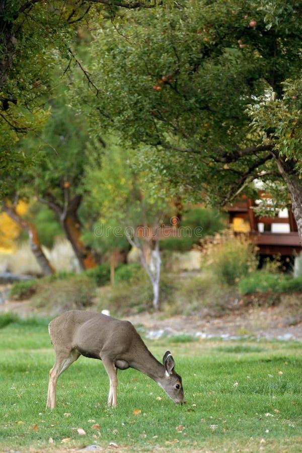 吃草的鹿 免版税图库摄影