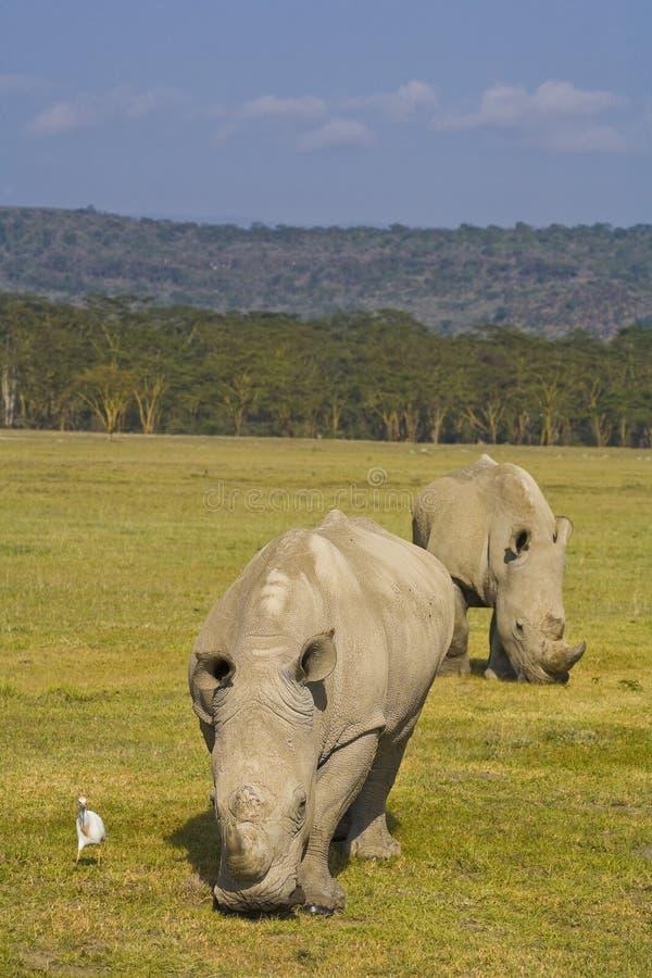吃草空白nakuru的犀牛 库存照片
