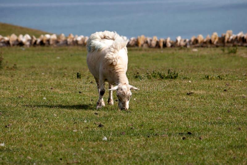 吃草绵羊的域 免版税图库摄影