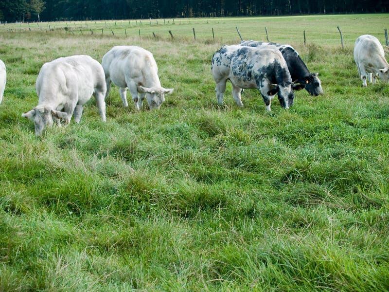 吃草草甸的母牛 图库摄影