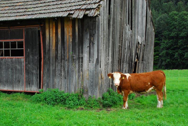 吃草草甸的母牛 免版税图库摄影