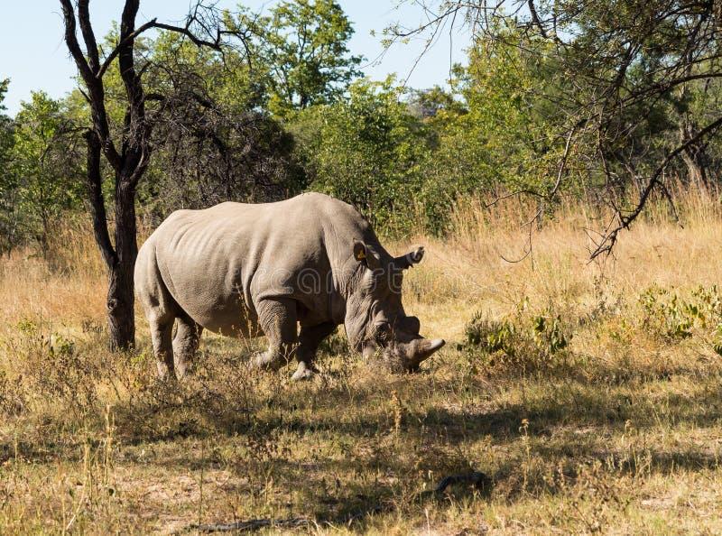 吃草草的大犀牛在津巴布韦 免版税库存图片