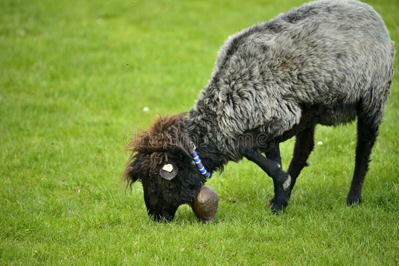 人和绵羊交配_图片 包括有 家畜, 响铃, 吃草, 敬慕, 本质, 小山, 交配动物者
