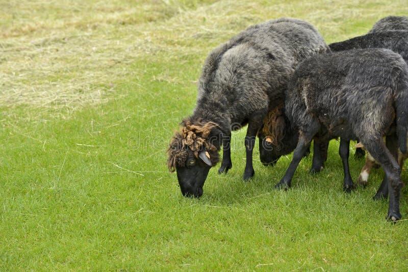 人和绵羊交配_图片 包括有 农田, 羊羔, 自然, 问题的, 农场, 敌意, 交配动物者