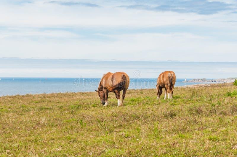 吃草草的马在Pointe圣马蒂厄在普卢贡韦兰在菲尼斯泰尔省 库存照片