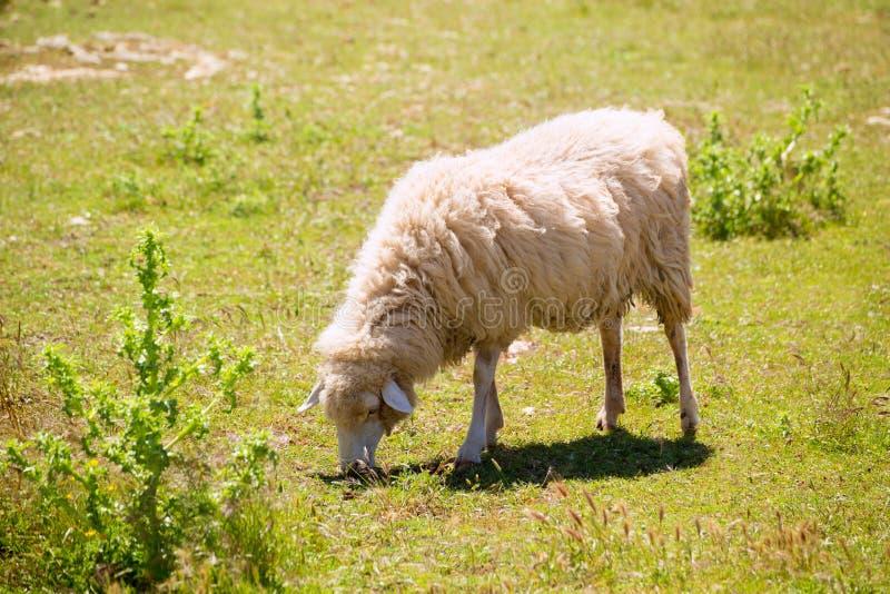 吃草草的绵羊在拜雷阿尔斯的Menorca 免版税库存图片