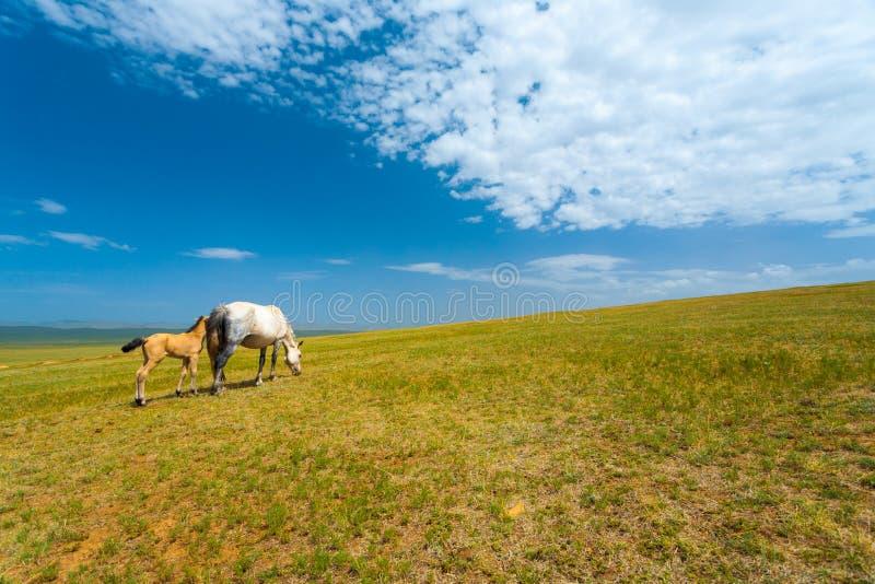 吃草草蒙古干草原的野马 库存照片