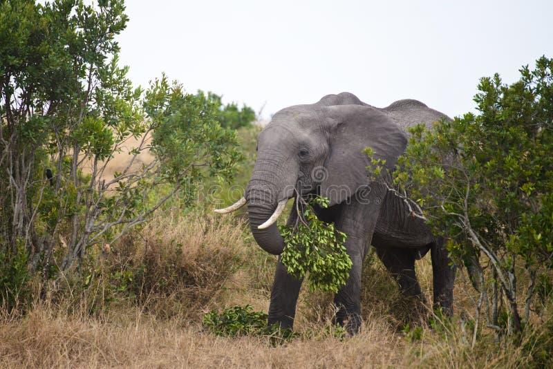 非洲大象吃草在灌木下在一个国家公园在肯尼亚 他们是地球上的最大的图片