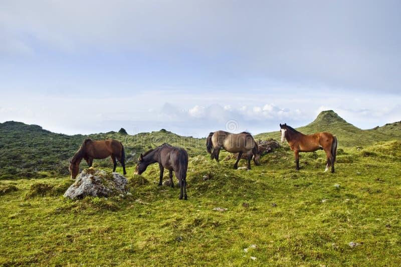 吃草马海岛pico的亚速尔群岛 免版税库存照片