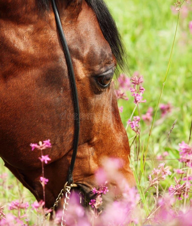 女人与公动物交配文章_图片 包括有 交配动物者, 春天, 纯血种马, 公马, 关闭, 吃草 - 8425