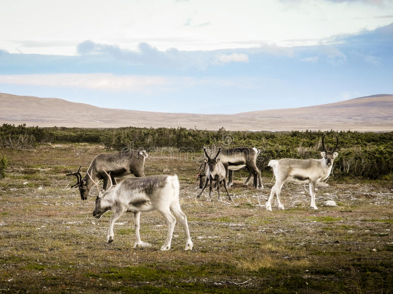 吃草驯鹿牧群,瑞典 图库摄影