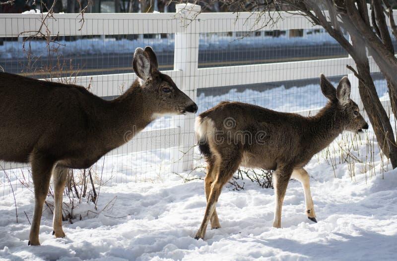 吃草骡子的鹿 库存图片