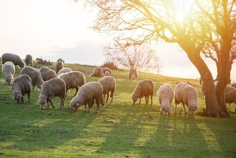 吃草,在一棵大树附近的绵羊在日落时间 免版税库存图片