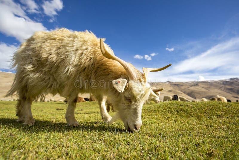 吃草- Chummatang -拉达克印度的Pashmina山羊 免版税库存照片