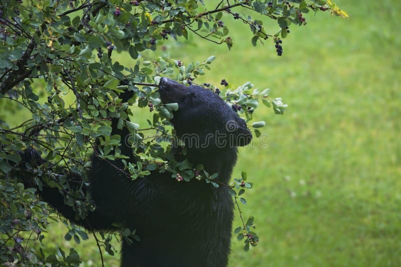 吃莓果的黑熊在夏天 免版税库存照片