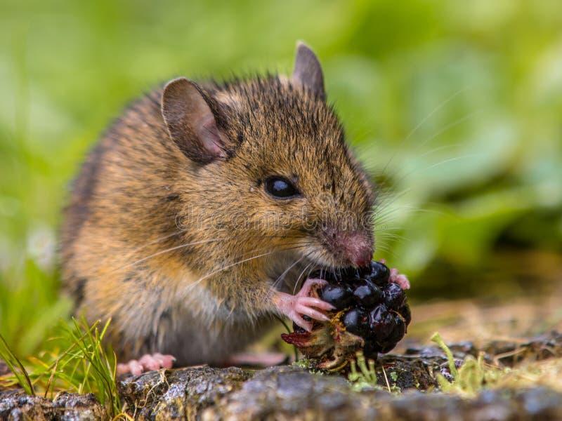 吃莓的野生田鼠 图库摄影