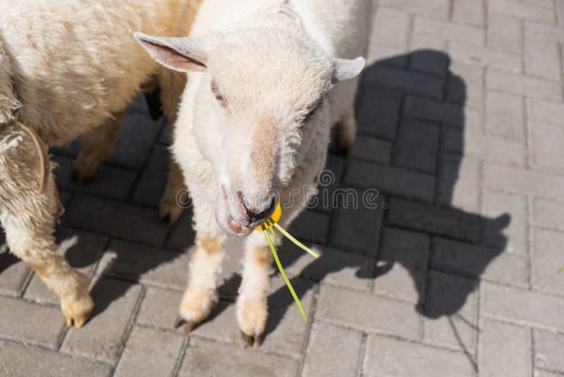 吃菜的观点的绵羊在室外旅游农场 免版税库存照片