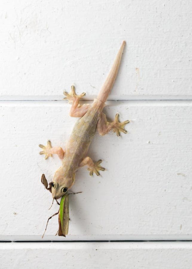 吃蚂蚱的壁虎 图库摄影