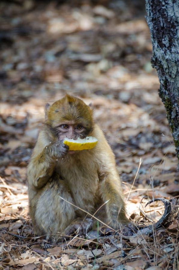吃蜂蜜瓜的被放弃的片断幼小巴巴里人猴子在雪松森林,中间阿特拉斯山脉,摩洛哥,北非里 库存照片